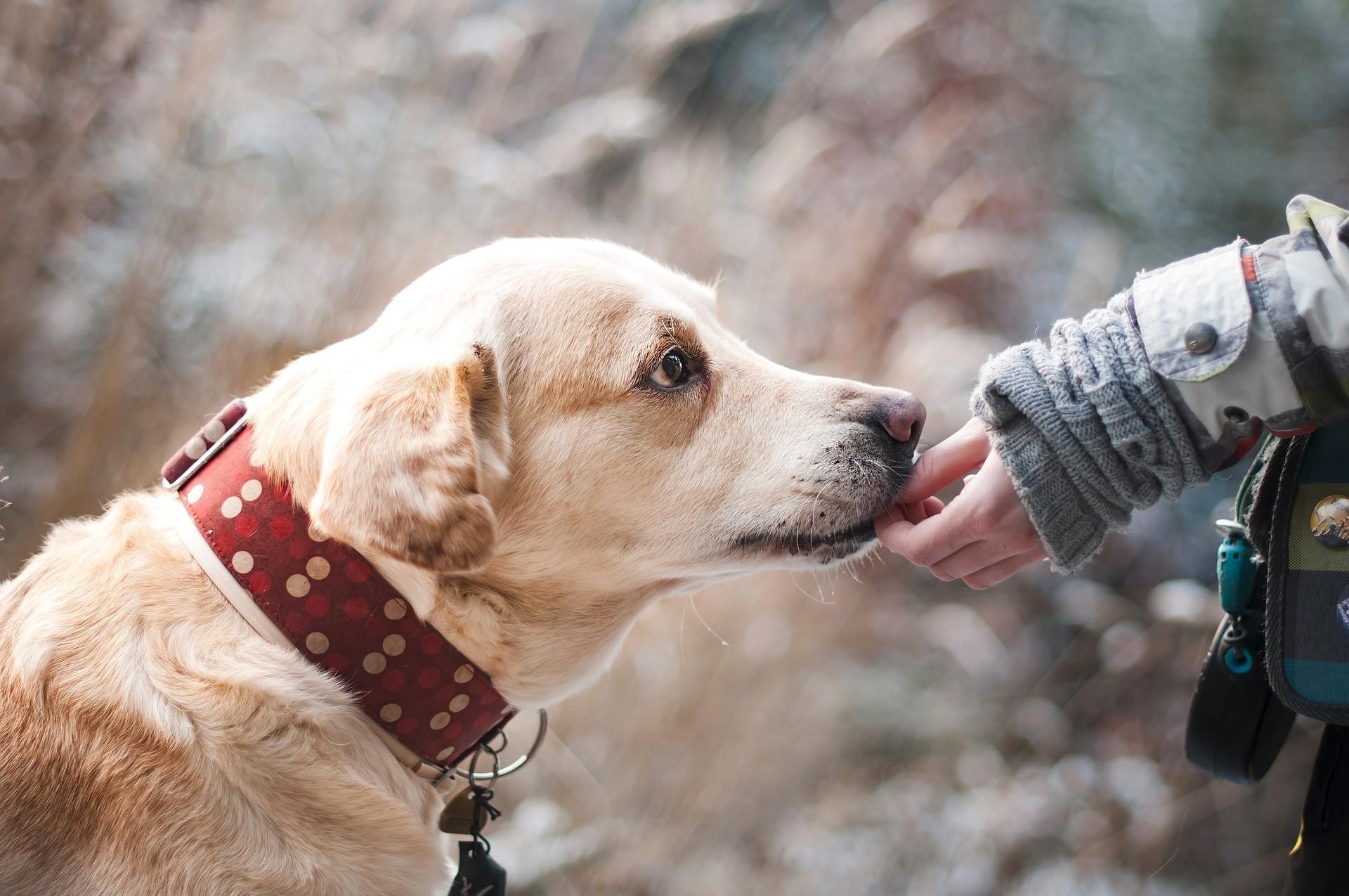 Hunde erziehen Retriver