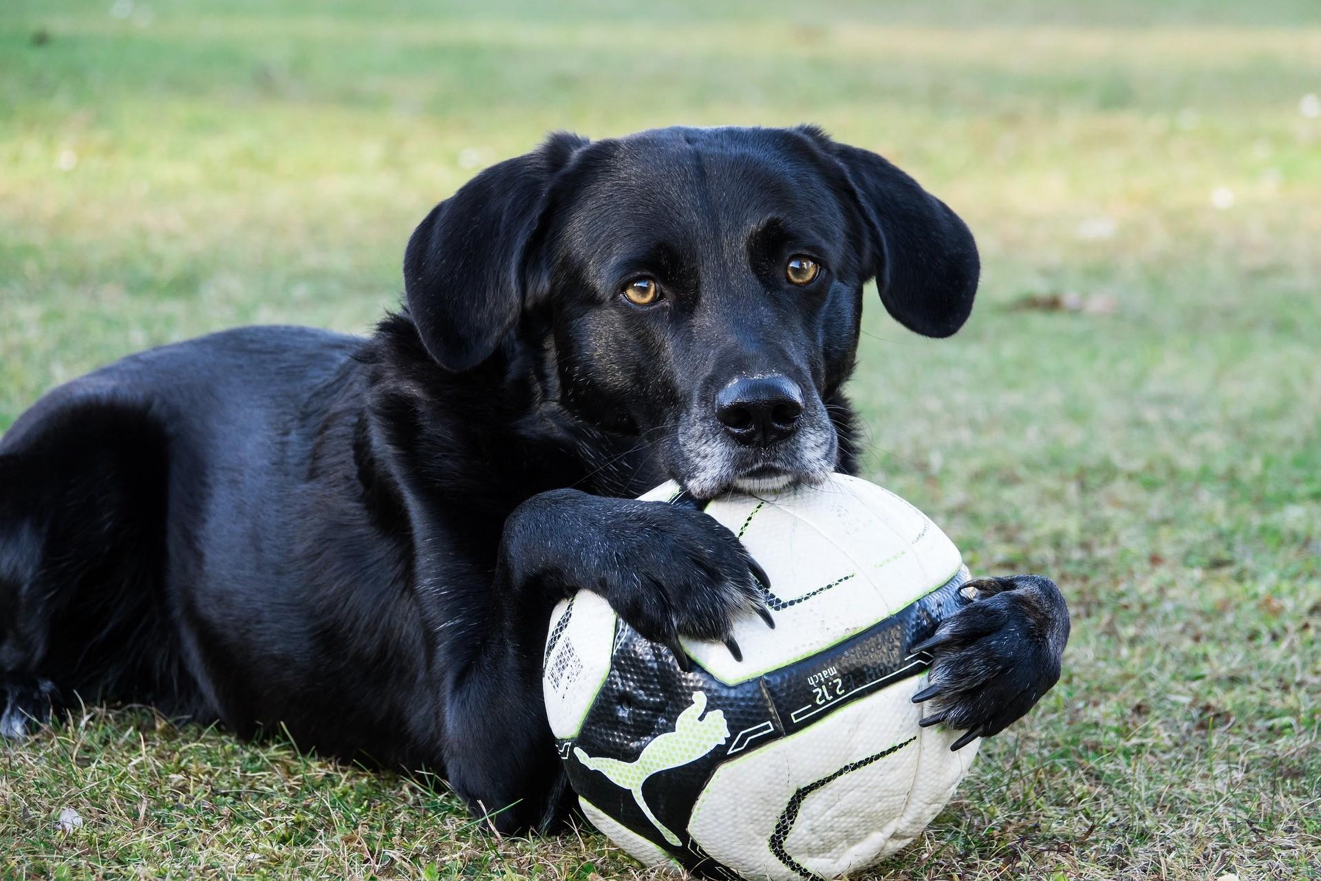Hunde erziehen Labrador
